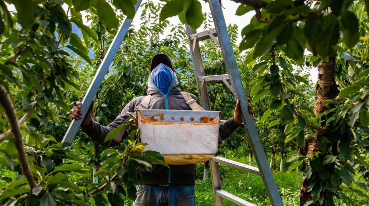 A farm worker preparing a ladder in cherry orchard