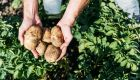 close up of person holding potatoes in field