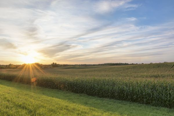 Minnesota cornfield at sunset